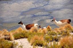 llamas at laguna negra