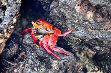 Crab at Playa de la Estacion