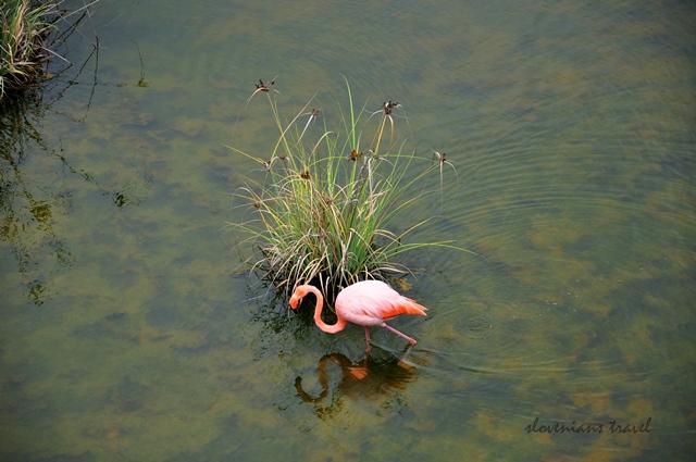 Lonely flamingo on Isabela