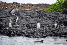 All in one picture - iguana, penguin and pelican