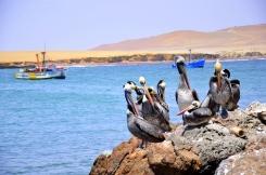 More pelicans