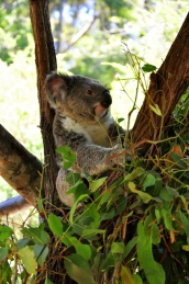 Koalas <3