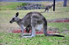 Kangaroos at Halls Pass